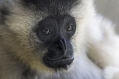 White-cheeked Gibbon 2016-10-14 (60D_4387) (ajhaysom) Tags: whitecheekedgibbon monkey melbourne australia melbournezoo canoneos60d sigma120400