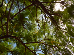 Flammenbaum (Delonix regia) an einer Strae in Puerto de la Cruz; Teneriffa (28) (Chironius) Tags: spanien teneriffa puertodelacruz gegenlicht rosids fabids fabales schmetterlingsbltenartige fabaceae hlsenfrchtler johannisbrotgewchse caesalpinioideae caesalpinieae delonix flammenbaum delonixregia baum bume tree trees arbre  rbol arbres  rboles albero  rvore aa boom trd laub frucht fruit frutta owoc fruta  frukt meyve    buah spain  espaa tenerife