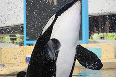 IMG_6903 (Bebelouga) Tags: orque marineland killerwhale orca