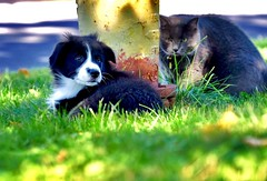 I've looked everywhere for that darned cat! (Jamie McCaffrey) Tags: surprise game xt1 fuji sneaky sneakup catsanddogs cat firehydrant hydrant australianshepard dog
