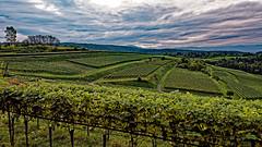 Morgens in den Weinbergen (MH *) Tags: reben weinberge himmel d7200 morgens wineyard sky grape malterdingen bombach sdbaden badenwrttemberg badnerland landscape landschaft