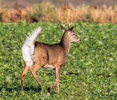 Let Me Guess...it's a whitetail (edmason88) Tags: deermbuck bambi whitetail tamron150600 strathconacounty alberta