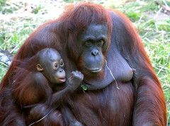 Baju & Wattana [eXPLoReD] (Ger Bosma) Tags: 2mg196228 borneoseorangoetan borneanorangutan pongopygmaeus orangutan borneoorangutan orangoutandeborno orangoutang orangutndeborneo orangutn orangotango  baby mother small juvenile nipper toddler infant immature