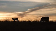 Calf silhouette (Eastbaygirl925) Tags: silhouette sunset setting sun settingsun explore thegreatoutdoors