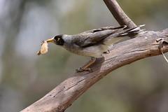 Noisy Miner (Luke6876) Tags: noisyminer honeyeater bird animal wildlife australianwildlife moth insect