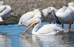 American White Pelican (jricecameron) Tags: charlestonsloughcoastcaseyforebay santaclaracounty california americanwhitepelican