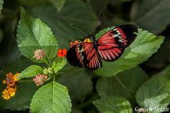 Heliconius melpomene (Manolo G.A.) Tags: heliconius melpomene canon 50d 18200mm mariposario njar almera mariposa butterfly