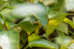 Hide & Seek (views@vista) Tags: animal chameleon goa leaves nature outdoor reptile