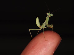 Macro and Me (Scott Atwood) Tags: baby macro green closeup mantis nymph ringflash l4 mantid fingertip fingerpad borderedmantis stagmomantislimbata pseudopupils