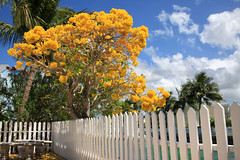 (DhkZ) Tags: flowers tree bahamas nassau distagont235 zeiss35mmf2 canon5dii