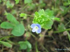 IMG_4741 (Enchika) Tags: flower veronica cvet
