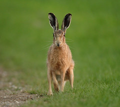 Brown hare  with sunset eye jogging Lepus europaeus (mikejrae) Tags: brownhare withsunseteyejogginglepuseuropaeus