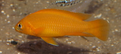 Lemon cichlid (Neolamprologus leleupi) (shadowshador) Tags: life fish water lemon wildlife ichthyology biology animalia cichlid scientific taxonomy classification cichlidae chordata bilateria deuterostomia craniata vertebrata gnathostomata osteichthyes actinopterygii neopterygii teleostei neolamprologus eukaryota perciformes leleupi eumetazoa acanthopterygii labroidei opisthokonta neomura holozoa filozoa pseudocrenilabrinae lamprologini