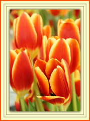 Spring Fresh Orange (bigbrowneyez) Tags: flowers orange ontario canada beautiful glow colours tulips bright stripes gorgeous ottawa rich blossoms fresh glowing bouquet colourful fabulous joyful breathtaking twotone