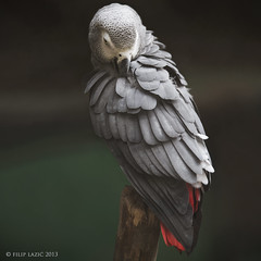 African Grey Parrot (filiplphoto) Tags: bird birds canon grey zoo is erithacus african croatia parrot ii zagreb approved 28 70200 psittacus 1dx