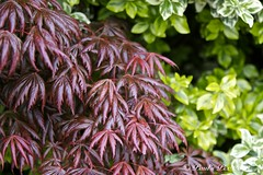 Purple Hands (Canonpauls) Tags: tree garden japanese maple japanesemaple acer euonymus variegated shrub palmatum japonicus atropurpureum canonef70200mmf28lis variegatus acerpalmatumatropurpureum microphyllus variegatedeuonymus euonymusjaponicusmicrophyllusvariegatus
