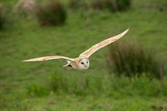 Barn owl (Tyto alba) (steven whitehead) Tags: flowers bluebells canon flying woods eagle display little snowy owl owls barnowl tawny longearedowl snowyowl longeared littleowl tawnyowl shortearedowl shorteared 2013 1dx