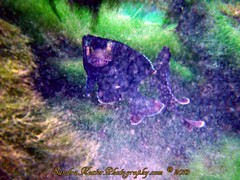 PICT0256 (2) (SantaFeSandy) Tags: county 2 fish water colors fauna flora sandra florida mullet sandy free scuba diving clear springs tiny nate catfish scubadiving fl pilings algae inches may22 count flounder wiggy gilchrist fanning 2013 sandykoster sandrakosterphotography sandrakosterphotographycom ewigman