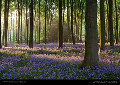 Woodland Wonders (H4RSX) Tags: wood trees bluebells sunrise woodland micheldever micheldeverwoods