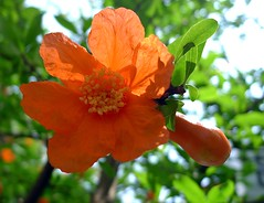 Pomegranate Flower:石榴花 (love_child_kyoto) Tags: masterphotos artisticflowers takenwithlove mindigtopponalwaysontop lovelyflickr マスター写真 thegoldenachievement dreamlikephotos takenwithhardwork lovelynewflickr