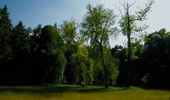 Die lustigen Witwen (Trauerweiden) (Salix x pendulina) auf einer Feuchtwiese am Baccumer Berg; Messingen (7 a) (Chironius) Tags: trees tree germany deutschland weide rboles sauce boom arbres willow rbol alemania grn weepingwillow albero wald bume allemagne arbre rvore baum trd germania wilg emsland salice weiden lingen salix aa niedersachsen  saule  osier trauerweide st  salicaceae   rosids malpighiales   salcio weidengewchse marsault malpighienartige  baccumerforst baccumerwald fabids lingenerhhe