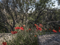 1869-2016-BR (elfer) Tags: paisaje amapola flores vegetacin rivasvaciamadrid madrid espaa