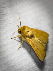 Mythimna ferrago. Fabricius, 1787 (EcoFoco juanma.coria) Tags: espaa naturaleza macro fauna testing verano insecto polilla comunidadvalenciana invertebrado alfafara sierramariola parquenaturalsierramariola mythimnaferragofabricius1787