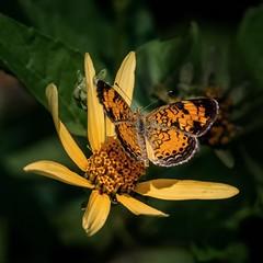 Gold Dancer (Portraying Life) Tags: michigan unitedstates butterfly sunflower handheld closecrop dundeebutterflycount naba da3004hd14tc