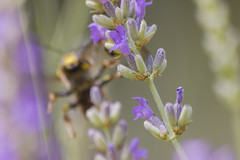 _MG_1870 (Arthur Pontes) Tags: blur flower macro nature insect natureza small flor bee abelha inseto micro pequeno lavanda
