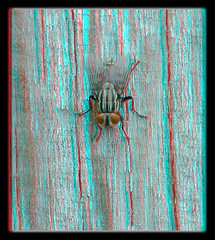 Nowhere Else I Wood Rather Be ! - Anaglyph 3D (DarkOnus) Tags: sarcophagidae flesh fly pennsylvania buckscounty huawei mate8 cell phone 3d stereogram stereography stereo darkonus closeup macro insect nowhere else i wood rather be anaglyph