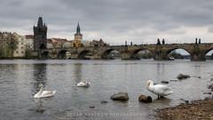Down by the river (Peter Nystroem) Tags: river swans bridge city praha prague charlesbridge tower vltava