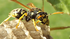 Vespula germanica (avispa) #2 (camunozf) Tags: avispa chaqueta amarilla insect insecta insecto chile chili vespula germanica waps panal gupe