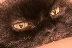 Cat Portrait (a2roland) Tags: norman zeb a2rolandyahoocom a2roland cat eye close up feline cornea iris retina lens pupil light macro membrane details reflection shadow view perspective flicker photo picture pics nikon camera d5500 micro