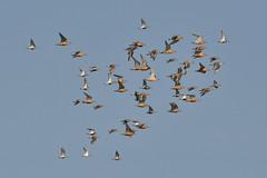 Flock 1 (Tim Harris1) Tags: nikond7100 nikkor80400afs norfolk bird rspb snettisham