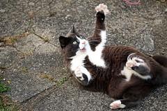 Nounou (Mariie76) Tags: animaux chat flin chartreux europen drle jeu scoubidou sport senior gris blanc dents griffes pattes