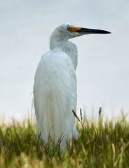 Jul 27 20165908 (Lake Worth) Tags: animal animals bird birdwatcher birds canonef500mmf4lisiiusm canoneos1dxmarkii everglades feathers florida nature outdoor southflorida waterbirds wetlands wildlife wing