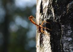 Megarhyssa vagatoria (westgpottery) Tags: ichneumon wasp nature insect megarhyssa vagatoria veluwe