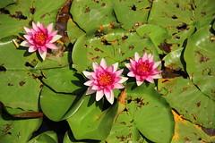 IMG_9123 (猜测) Tags: 北京 海淀区 圆明园 莲花