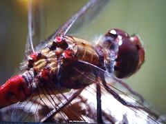 Common darter dragonfly (ttbeep) Tags: dragonfly yorkshirewildlifetrust northcavewetlands canoneos700d screenshotsamsungs6edge yorkshire england handheld commondarter