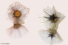 Lomelosia simplex - reflexions (Fernando Delgado) Tags: lomeliosasimplex lomeliosa flores flora reflexos ibrico 2016 flower macro stars august
