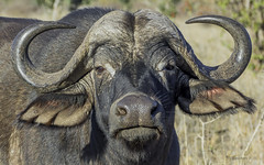 Face Off (philnewton928) Tags: capebuffalo capebuffalobull buffalo synceruscaffercaffer mammal animal animalplanet wild wildlife nature natural mopani kruger krugernationalpark africa southafrica outdoor outdoors safari nikon nikond7200 d7200