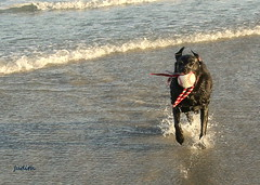 Here come's Raven with her ball.... (judecat (relaxing by the sea)) Tags: dog blackdog blacklabradorretriever labradorretriever beach ocean sea water ball fetch retrieve wildwood newjersey raven