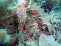 DurlBay 25 encrusting sea squirt (bloomspix) Tags: seasearch underwater englishchannel swanage