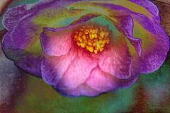 the passionate camellia (eepeirson) Tags: camellia beautifulcamellias white purple canada flowers green tree txeeptopaz