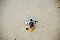 Sea Turtle Hatchling Heads to the Sea (John Dreyer) Tags: seaturtle turtle beach hiltonheadisland hatchlings nikon nikond5100 copyright2016johnjdreyer photocreditjohnjdreyer