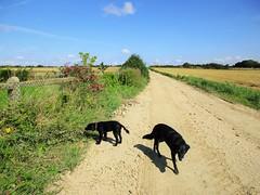 A whole new world (Explored) (JulieK (finally moved to Wexford)) Tags: inexplore dogs bella poppy track arable landscape 2016onephotoeachday canonixus170 fields lane bluesky summer ireland irish wexford fence