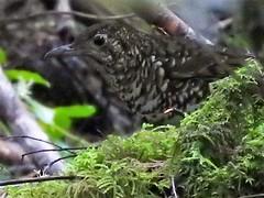 whites thrush the eye lyre bird walk (jeaniephelan) Tags: whitesthrush thrush bird tasmanianbird australianbird
