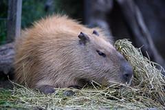 _DSC5771.jpg (Pixelkeeper) Tags: nikond4s capybara zoo
