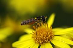 Bugger (Birdiebirdbrain) Tags: macro tokina tokina100mmf28 naturfoto nature naturephotography nikon nikond3300 fly insect flower