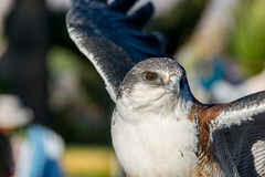 hawk eye (plucciola) Tags: maca arequipa per pe
